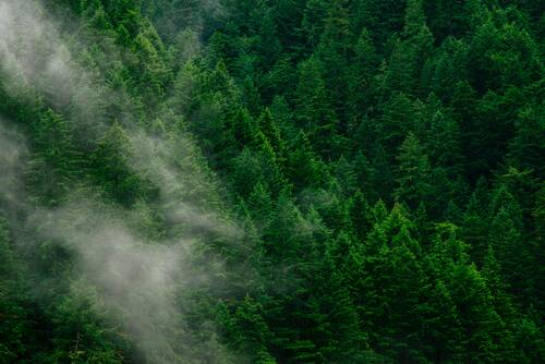 A light haze over green pine trees - Wohllebens Waldakademie